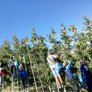 IN CAMPAGNA CON NOI: la raccolta delle mele